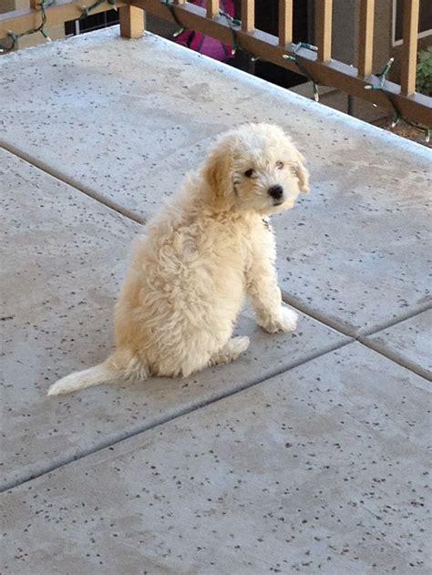 mini doodle uk zoey mini doodle puppy oodles of labradoodles