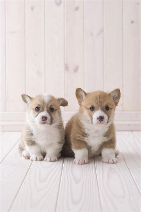 teacup corgi puppies for sale 199 best images about tiniest puppies on chihuahuas teacup chihuahua