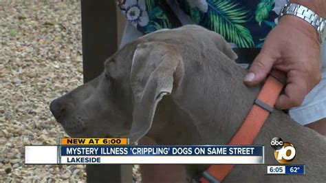 back legs weak suddenly mystery illness strikes dogs on same 10news kgtv tv san diego