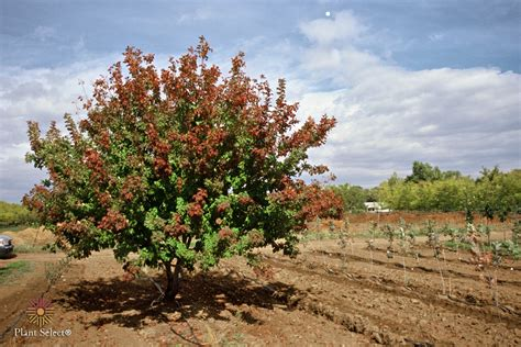 hot wings tatarian maple a great small tree