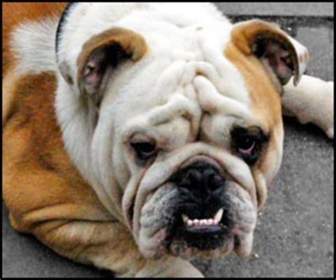 how many puppies can a bulldog bulldog club florida
