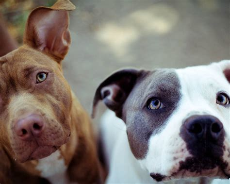 free pitbull puppies gsd page 6