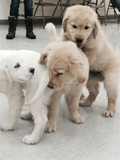 comfort dogs certification 17 best ideas about training classes on pinterest