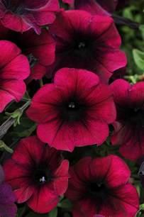 easy wave burgundy velour spreading petunia plant