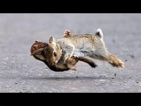 ermine weasel attacks the rabbit and kill her #1 youtube