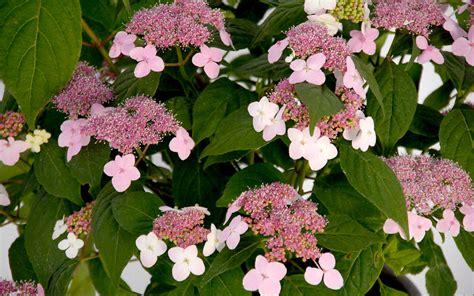 japanische pflanzen winterhart japanische pflanzen japanische pflanzen winterhart