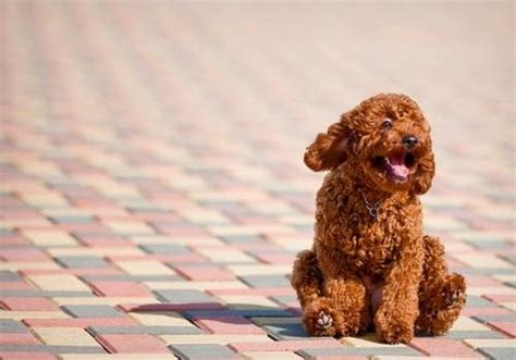 mini poodle weight moyen poodles average size weight breeds picture