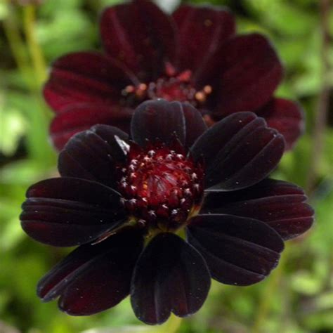 cosmos fiore cosmos atrosanguineus fiore di cioccolato linguaggio