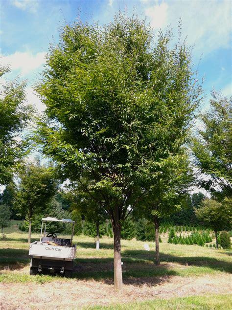 Vase Shaped Tree by Green Vase Farms Nursery
