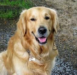 Golden Retriever Different Breeds Of Dogs Pictures Of Golden Retriever