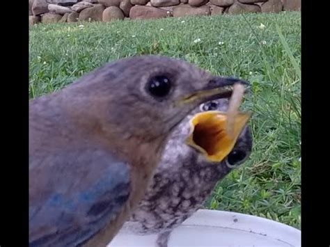 blue birds feeding babies mealworms youtube