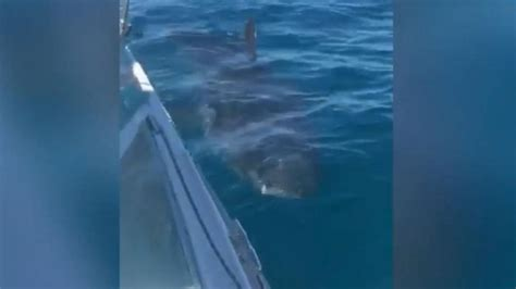 great white attacks fishing boat great white shark circles fishing boat video abc news