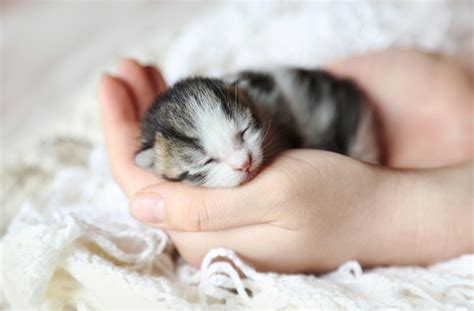 newborn kittens 10 interesting facts about newborn kittens petmd