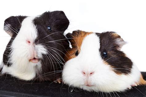 guinea pig noises behaviour popcorning teeth