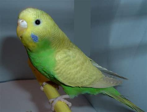 pappagallini ondulati alimentazione alimentazione coco ecalo cocorite e pappagallini ondulati