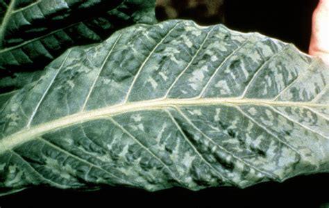 mosaic pattern disease cannabis viruses alchimia blog