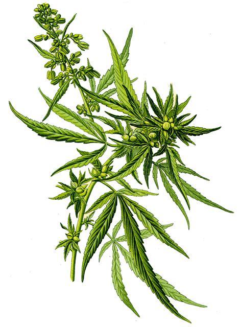 fiori canapa olio di semi di canapa flower tales cosmetica naturale