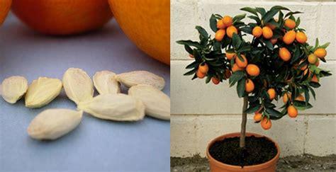 love orange juice grow   orange tree