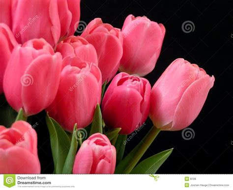 tulips or roses for valentines tulips royalty free stock photos image 8708