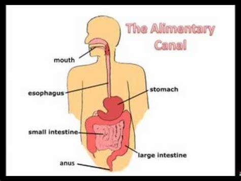 b2 digestive system youtube