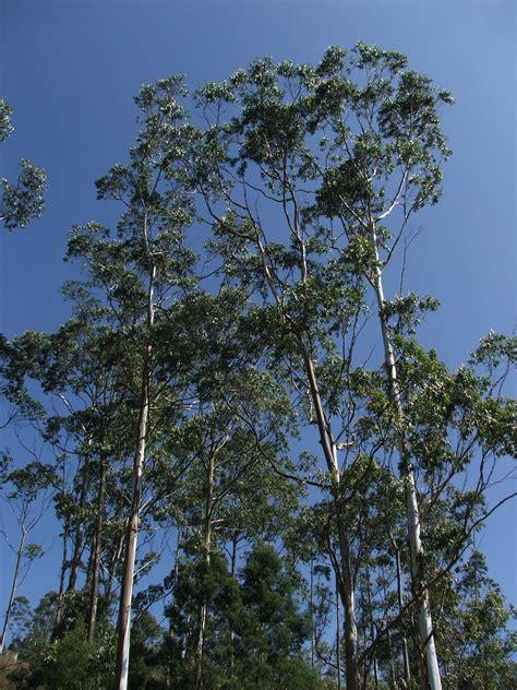 eucalyptus trees file eucalyptus trees munnar jpg