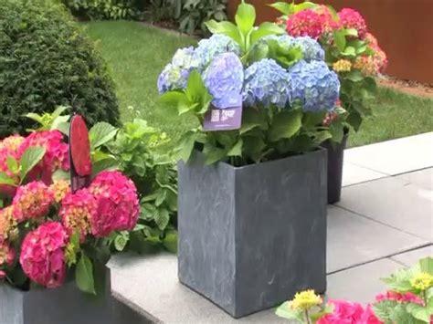 Wie Pflege Ich Hortensien 4798 by Hortensien Richtig Pflegen