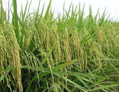 Di Grow baja foliar mekar grow tanaman padi di kung