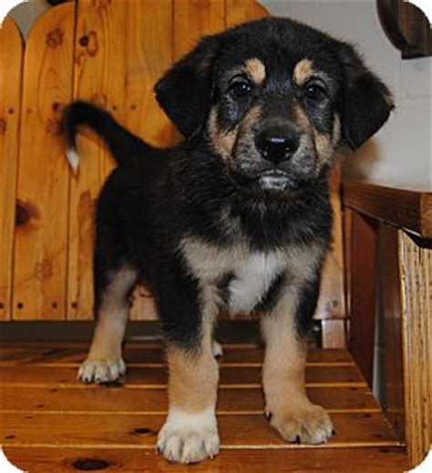rottweiler and great pyrenees mix pet not found