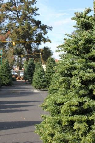 o christmas tree the paly voice