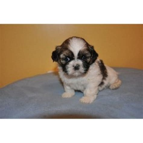 shih tzu breeders in ga shih tzu puppies for sale in