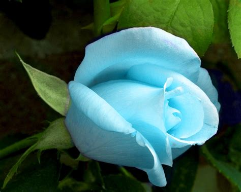 beautiful blue color beautiful light color blue rose flowers wallpapers