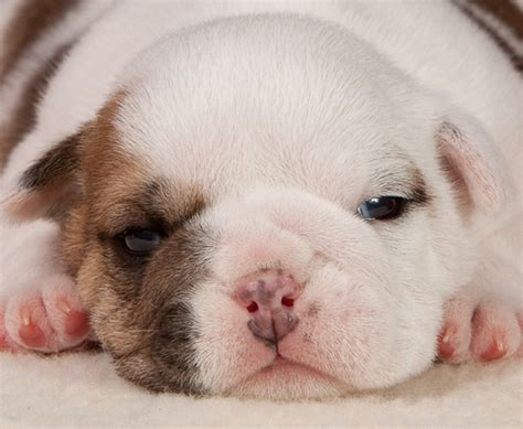 baby puppies baby bulldog puppies breeds picture
