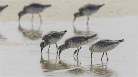 arctic warming causes bird to shrink in size arctic warming shrinks birds with a price to pay in