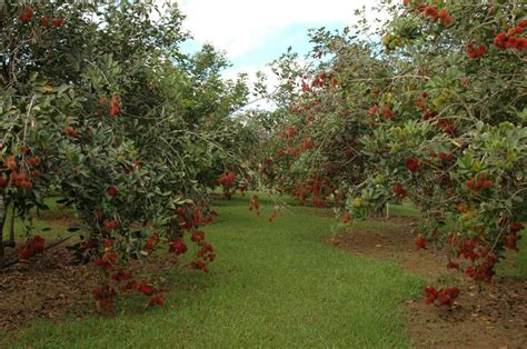 rambutan tree place of fruit delights trees