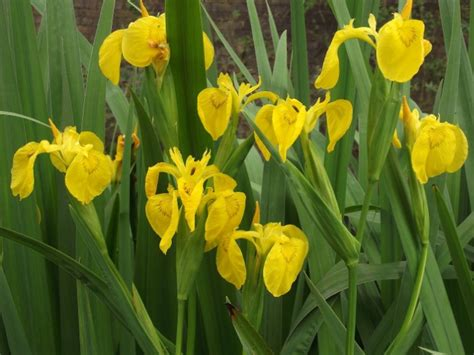 Obat Tetes Untuk Mata Kuning daftar tanaman obat lengkap beserta gambar dan khasiatnya