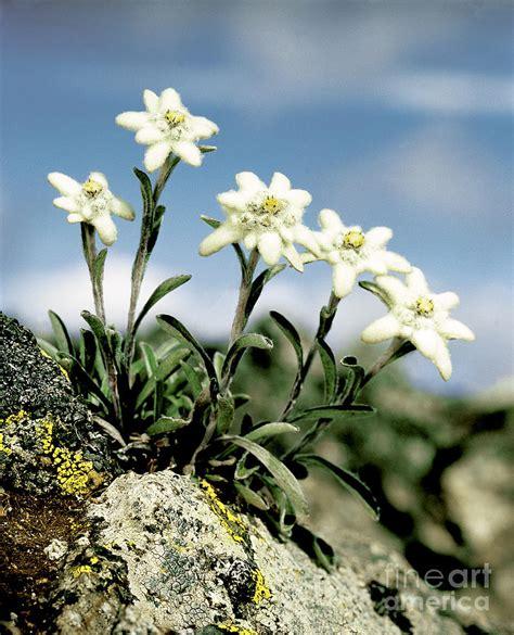 Stelan Next Flower edelweiss photograph by hermann eisenbeiss