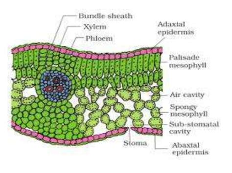 dicot leaf cross section diagram dicot and monocot leaf anatomy
