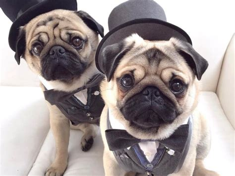 real pugs home pug squad