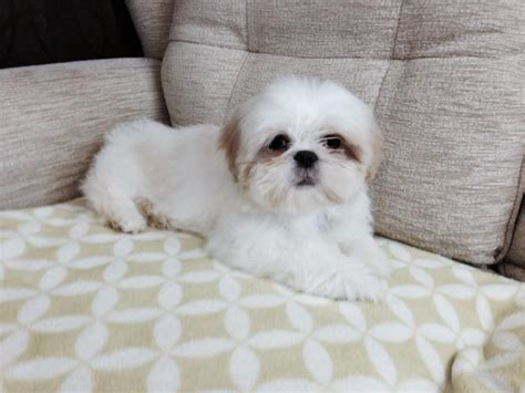 1 month shih tzu puppy kc 3 month white shih tzu with apricot ears dorchester dorset pets4homes