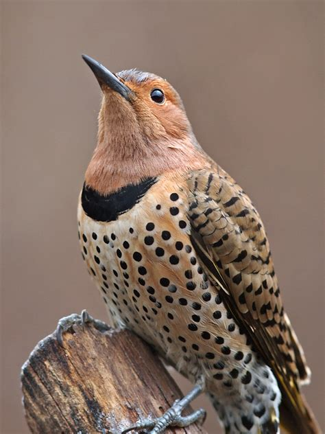 good life northwest understanding northern flickers