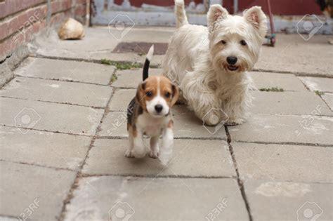 perro piso peque o 20097070 peque o cachorro beagle dos meses y perro westy