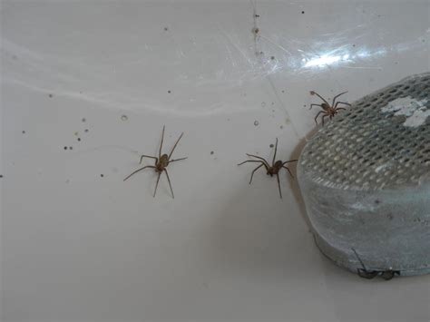 brown recluse spiders and your home abi home inspection