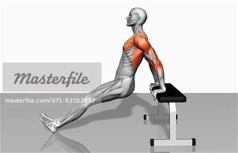 bench dips muscles worked tricep dips muscles worked body beautiful let s lift