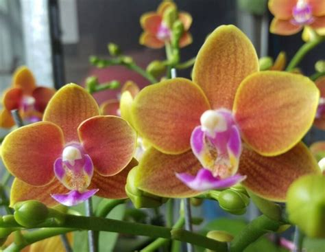 flower colors new orchid flower colors orchid hub