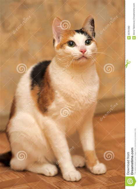 White With Red And Black Cat Stock Photo   Image: 55761382