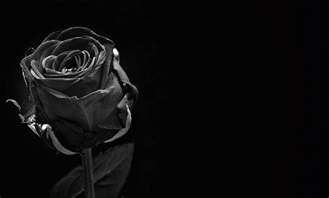 rosa fiore immagini foto gratis rosa nero fiore rosa fiore immagine