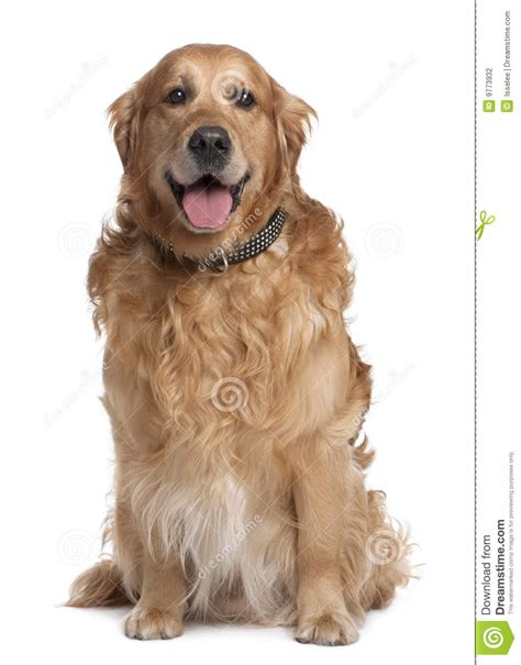 golden retriever panting at brown golden retriever panting 7 years stock photography image 9773932