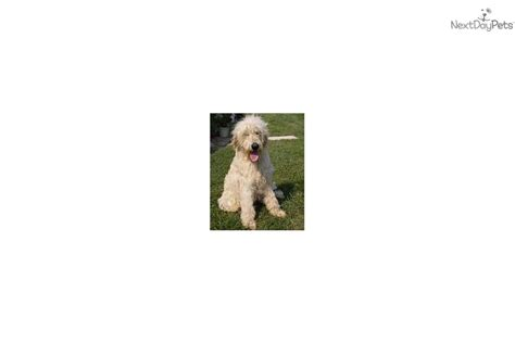doodle puppy mill puppies for sale from mill doodles member since