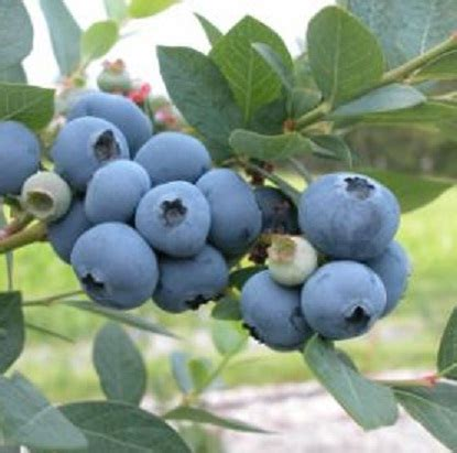 Bibit Blueberry Di Indonesia benih northern highbush blueberry bibitbunga