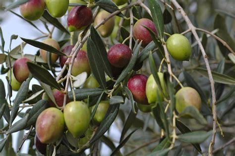 variet di olive da tavola olivo pianta alberi latifolie scopriamo la pianta dell